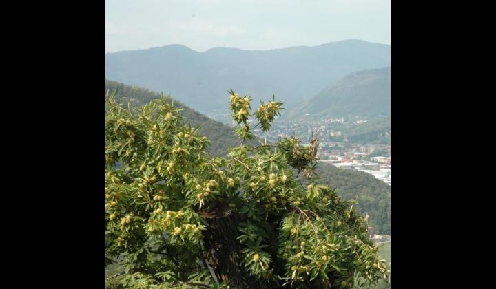 Castagno - Castanea sativa Miller