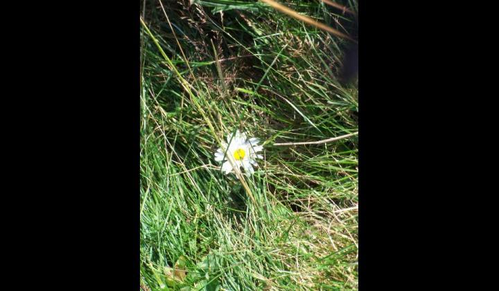 Margherita alpina - Leucanthemopsis alpina