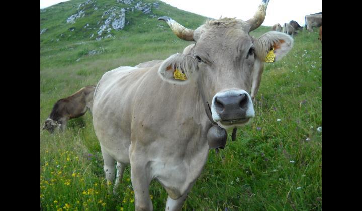 Mucche al pascolo presso la malga Stalletti